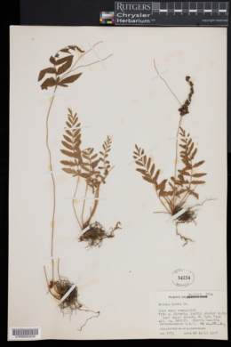 Image of Anemia hirta