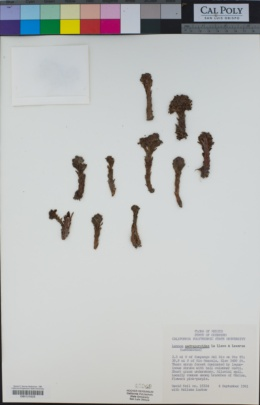 Lennoa madreporoides image