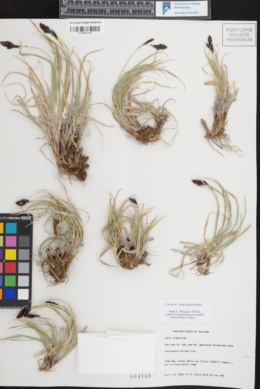 Carex chalciolepis image