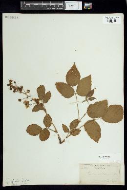 Image of Rubus villosus