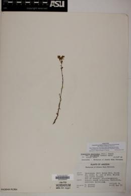 Cryptantha cycloptera image