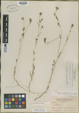 Image of Acrolasia davidsoniana