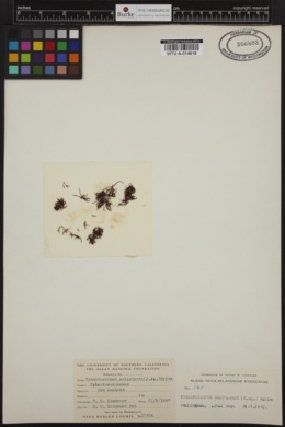 Trematocarpus acicularis image
