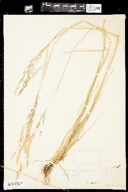 Image of Agrostis bourgeaei