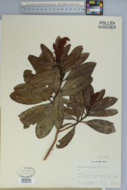 Image of Arbutus glandulosa