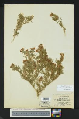 Glandularia bipinnatifida var. latilobata image