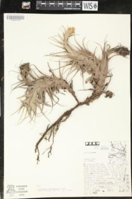 Image of Tillandsia calocephala