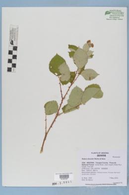 Rubus discolor image