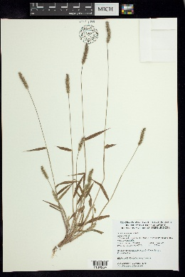 Image of Setaria scandens