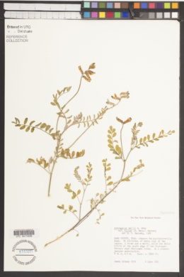 Astragalus hallii var. fallax image
