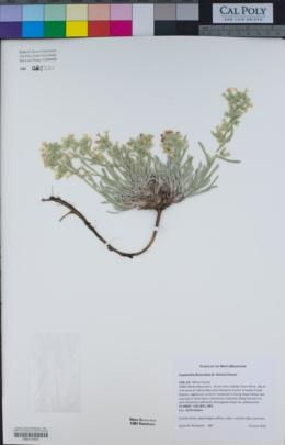 Image of Cryptantha flavoculata