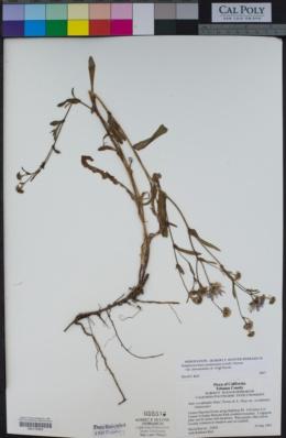 Symphyotrichum spathulatum var. intermedium image