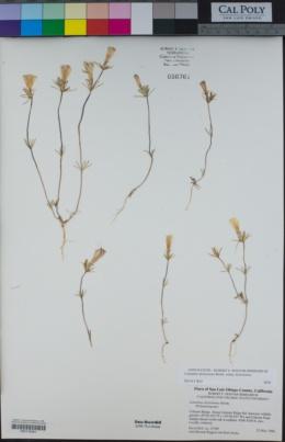 Linanthus dichotomus image