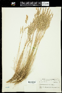 Image of Corynephorus canescens