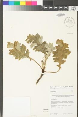 Cirsium quercetorum image