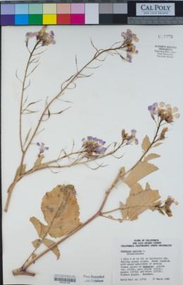 Raphanus sativus image