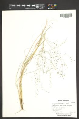 Eragrostis intermedia image