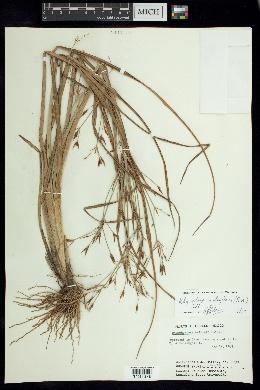 Image of Rhynchospora triflora