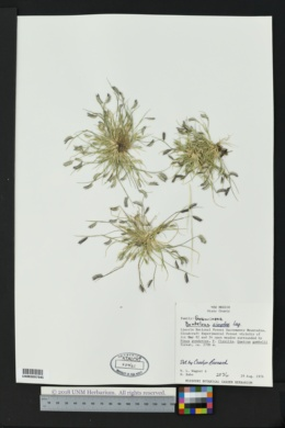 Bouteloua simplex image