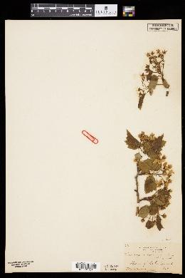 Crataegus corusca image