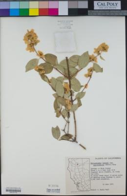 Philadelphus californicus image