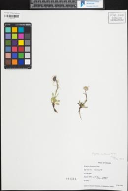 Image of Erigeron melanocephalus