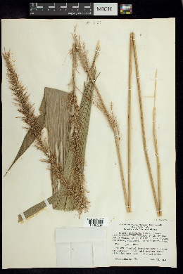 Image of Setaria sulcata