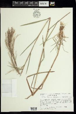 Image of Schizachyrium mexicanum