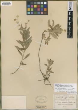 Symphyotrichum bullatum image