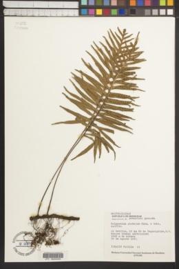 Image of Polypodium plebejum