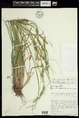 Image of Carex mcvaughii