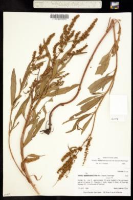 Rumex salicifolius var. mexicanus image