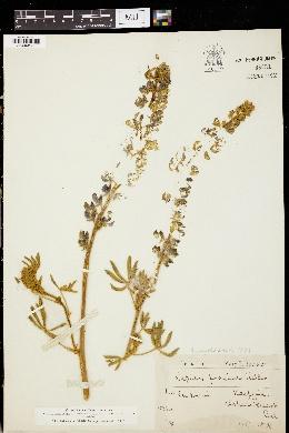 Image of Lupinus proximus
