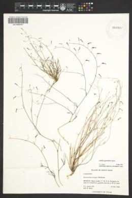 Image of Lobelia gypsophila