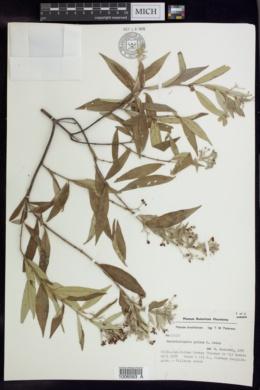 Image of Banisteriopsis goiana