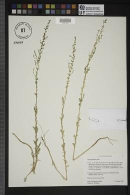 Suaeda linifolia image