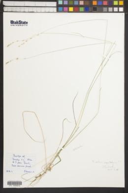 Image of Trisetum agrostideum