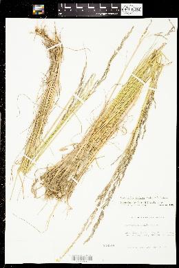 Image of Puccinellia maritima