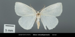 Image of Idaea rotundopennata