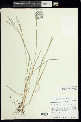 Image of Digitaria ternata