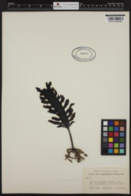 Ecklonia biruncinata image