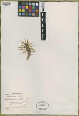 Cylindropuntia kleiniae image