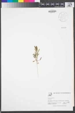 Image of Erigeron canadensis