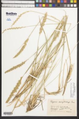 Leymus angustus image