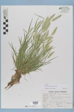 Polypogon monspeliensis image