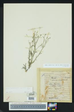 Ipomopsis longiflora subsp. australis image
