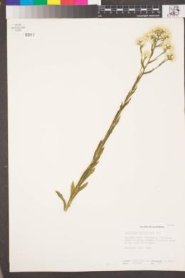 Pseudognaphalium californicum image