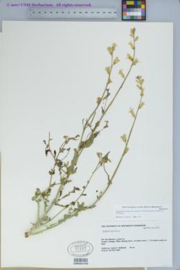 Streptanthus carinatus subsp. arizonicus image