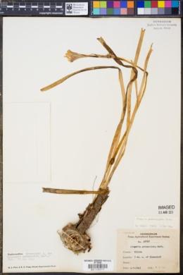 Image of Cooperia pedunculata