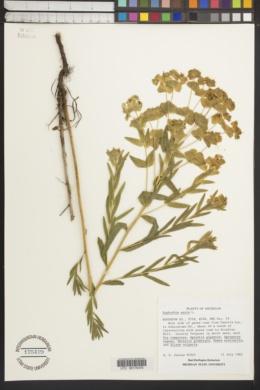 Euphorbia esula image